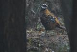 Reeve's Pheasant - Syrmaticus reevesii