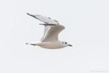 Saunders's Gull - Saundersilarus saundersi