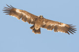 Raptors of Oman