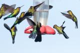 Fiery-throated Hummingbird - Panterpe insignis