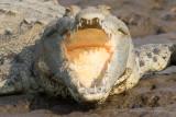 American Crocodile - Crocodylus acutus