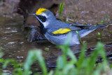 Golden-winged Warbler - Vermivora chrysoptera