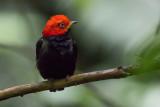 Red-capped Manakin - Ceratopipra mental