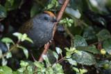 Wrenthrush - Zeledonia coronata