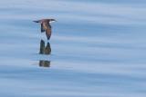 Galapagos Shearwater - Puffinus subalaris