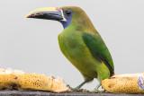 Blue-throated Toucanet - Aulacorhynchus caeruleogularis
