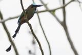 Turquoise-browed Motmot - Eumomota superciliosa