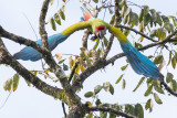 Great Green Macaw - Ara ambiguus