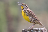 Eastern Meadow-Lark