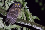 White-throated Screech-Owl