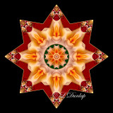 * 7. Gold Rose On Red Kaleidoscope (Holiday Star Variation of #11)
