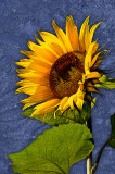 ** 259 - Sunflower With Etching Effect