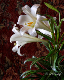 249 - Easter Lily In Front Of Tapestry
