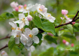 248 - Apple Blossoms