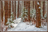 ** 58.8 - Winter: Snowy Red Pine Woods