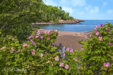 * 72.15 - Temperance River Mouth At Lake Superior:  Wild Roses