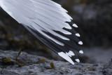 Pontische Meeuw / Caspian Gull