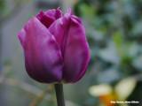 Paars - purple