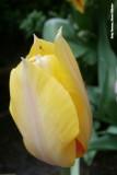 Geel en een beetje rood - Yellow and a bit of red