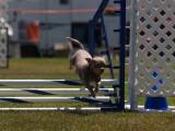 agility_dogs