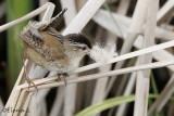 Troglodytes des marais / Marsh Wren