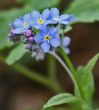 Forget Me Not Buds