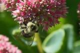 Closeup - Bumble Bee