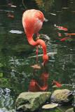 Reflections - Flamingo