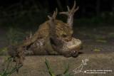 Paddentrek 2015/Toad migration 2015