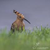 Hop/Eurasian Hoopoe