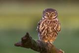 Steenuil/Little Owl