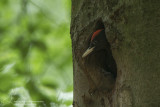Zwarte Specht/ Black Woodpecker