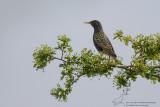 Spreeuw/Common Starling