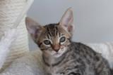 Khaleesi 7,5 weeks old