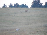 Buck Outside Our Rental (Every Morning)