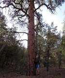 We climb onto the Kiabab plateau with its ponderosa pine