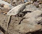 Collared Lizard (skinny)