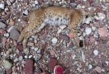 A recently dead bobcat- we reckoned it had fallen off the cliff