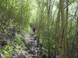 Green aspen groves