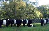 Part I Belted Galloway's