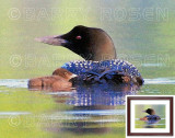 Common Loon with Chick - Painting Effect  M14_1077