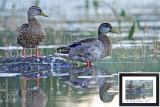 Mallard Ducks at Dawn M14_1724