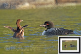 I'm Learning, Mom M14_2083 (Common Loon and Chick)