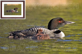 Common Loon with Chick M14_2121