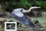 Great Blue Heron in flight BSR_2029