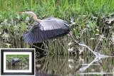 Taking Flight BSR_2079 (Great Blue Heron)