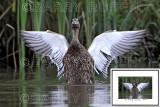 Mallard Duck Wings CON_4397