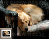 It's Snoozin Time Again - Painting Effect M10_0223 art print (Golden Retriever)