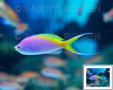 Just Wow! BSR_2231 (Rainbow Fish)