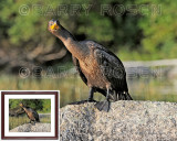 What Are You Looking At? M13_1996 (Cormorant)